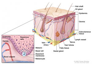 Normal Skin anatomy